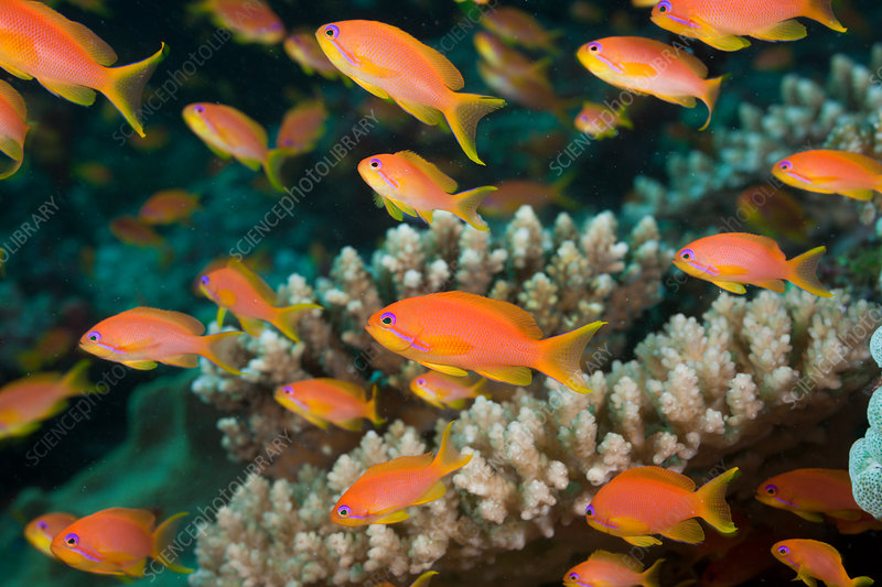Lyretail Anthias in Coral Reef