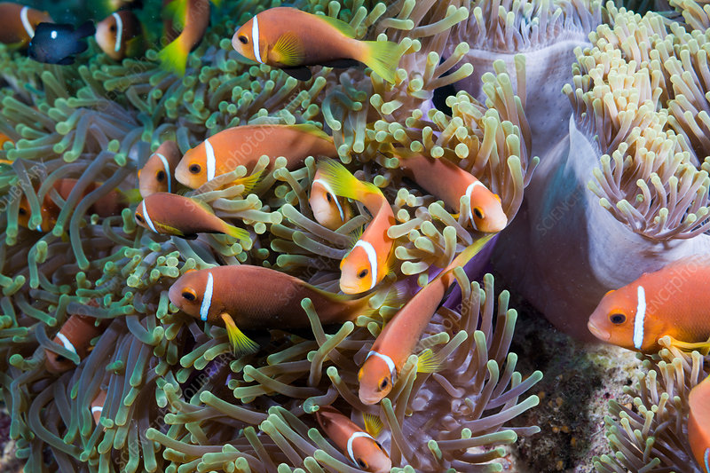 Maldives Anemonefish in Magnificent Anemone