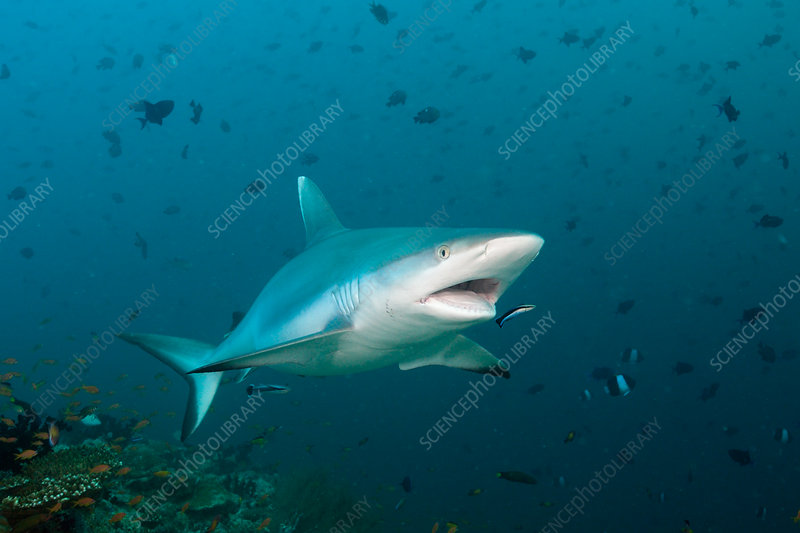 Grey Reef Shark with Cleaner Wrasse