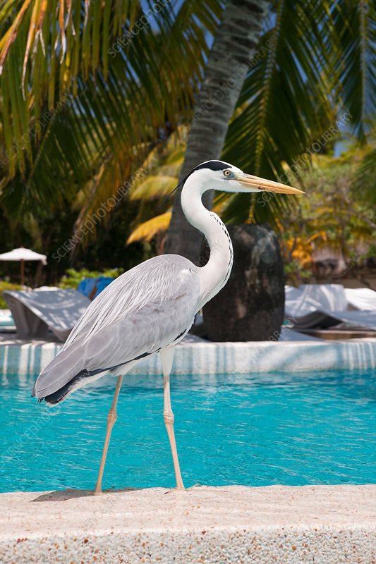 Grey Heron at Pool of Maldive Island Kandooma