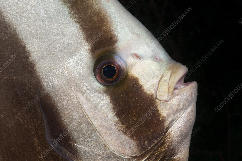 Head of Longfin Batfisch