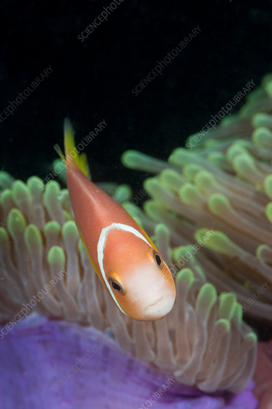 Maldive Anemonefish in Magnificent Anemone