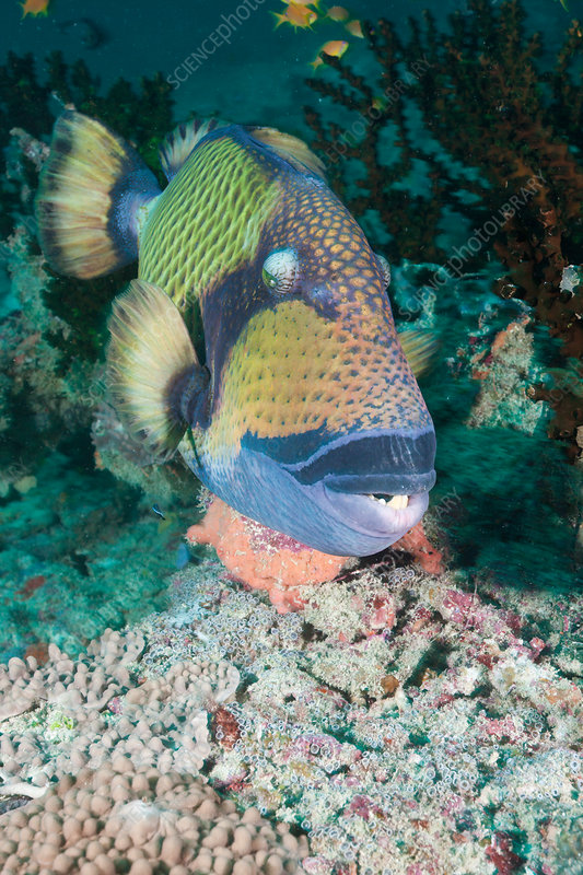 Green Titan Triggerfish