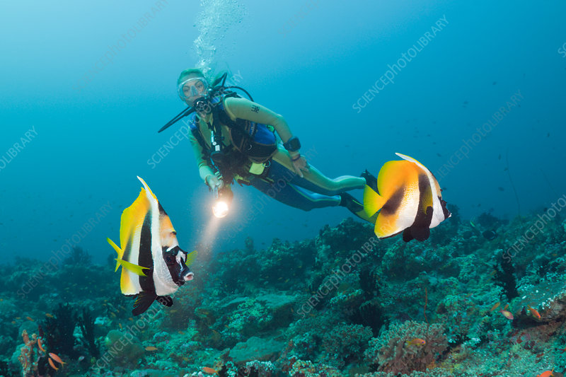 Masked Bannerfish and Diver