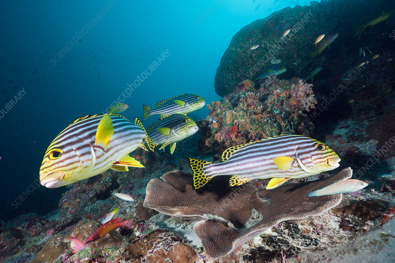 Oriental Sweetlips in Coral Reef