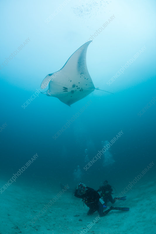 Diver watching Manta Ray