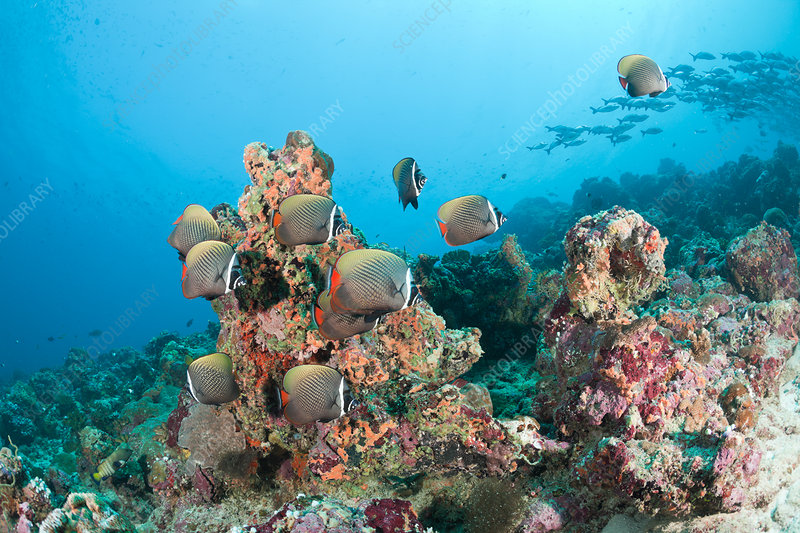 Collared Butterflyfish in Coral Reef