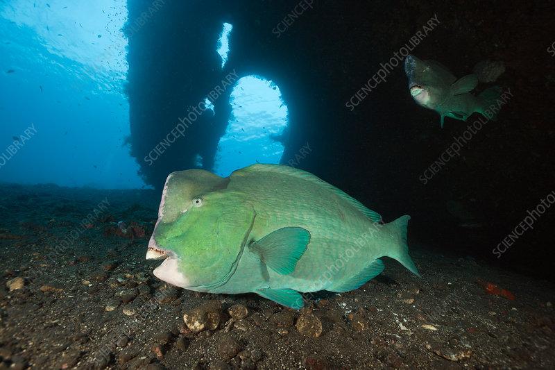 Bumphead Parrotfish at Liberty Wreck