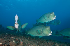 Group of Bumphead Parrotfish