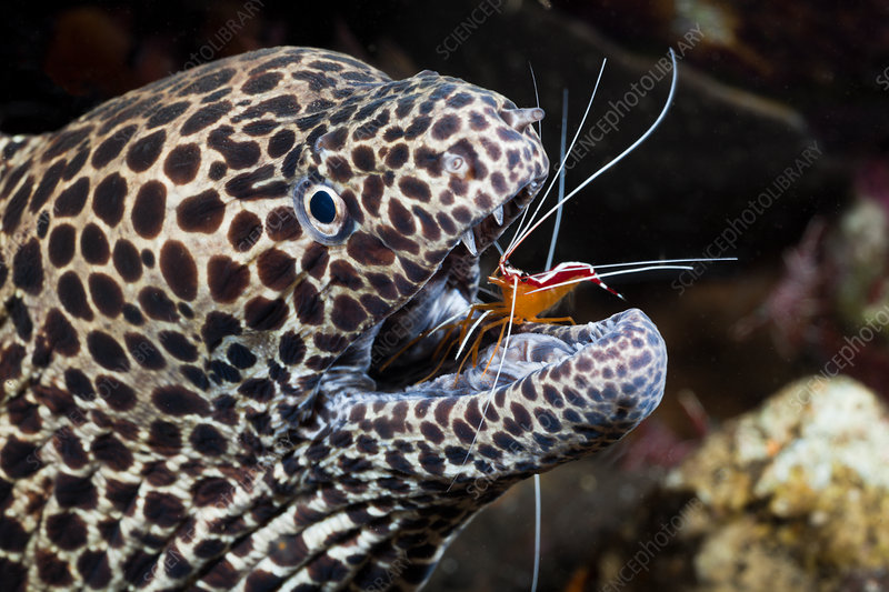 Honeycomb Moray cleaned by Cleaner Shrimp