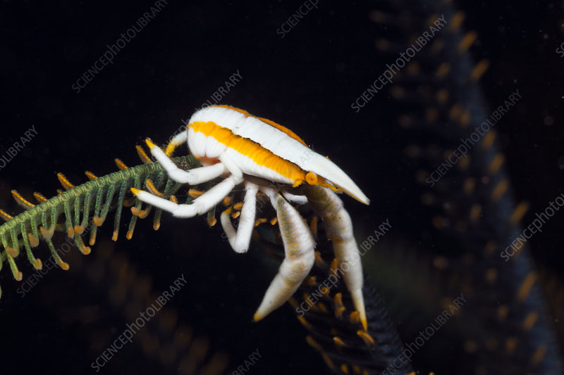 Squat Lobster in symbiotic with Crinoid