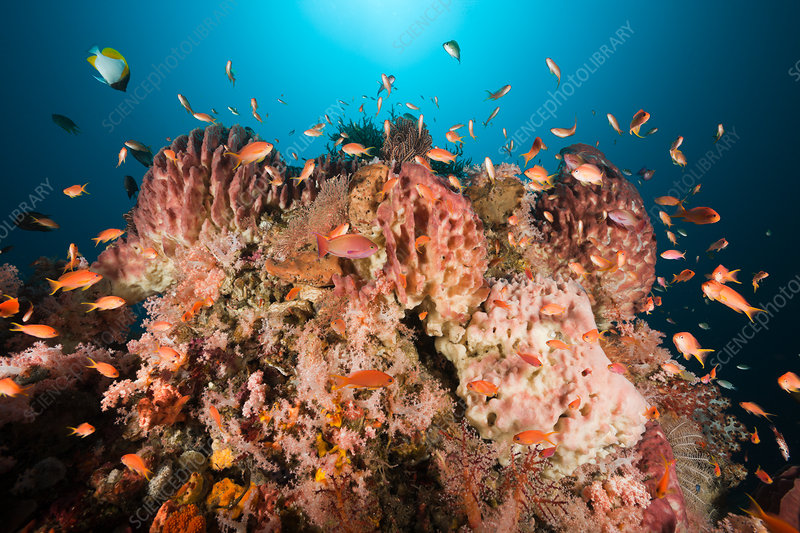 Coral Reef with Lyretail Anthias