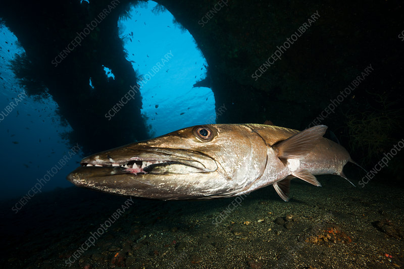 Great Barracuda at Liberty Wreck