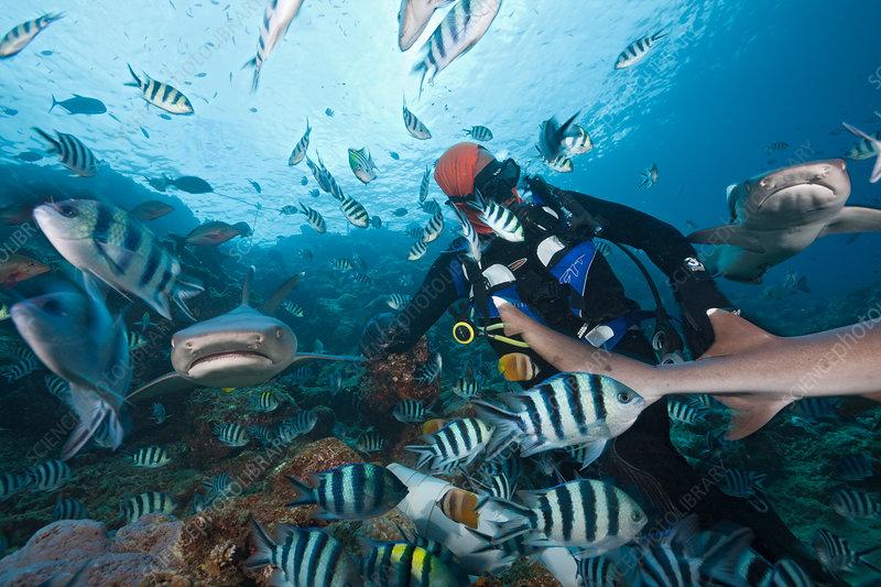Whitetip Reef Shark at Shark Feeding