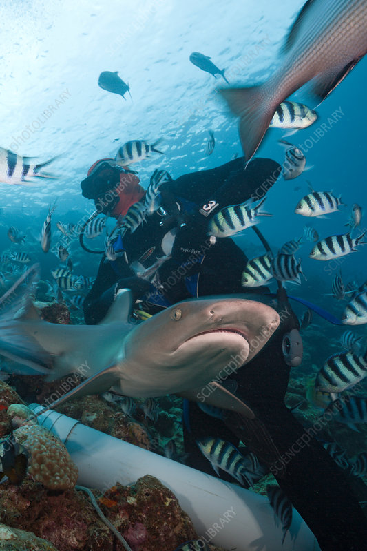 Whitetip Reef Shark at Shark Feeding