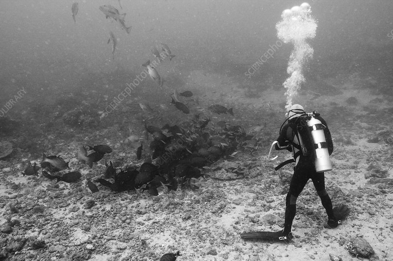 Scuba diver watches hunting Snappers