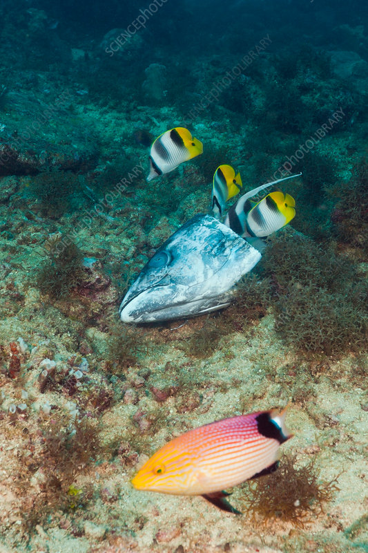 Double-saddle Butterflyfish feeding on Fishhead
