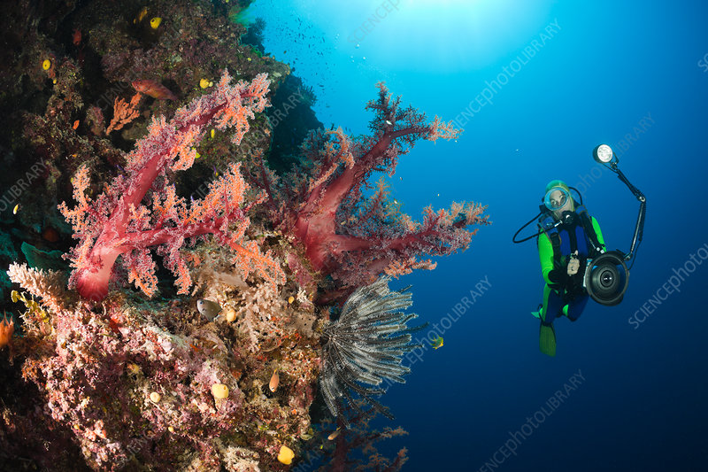 Scuba Diver and red Soft Corals