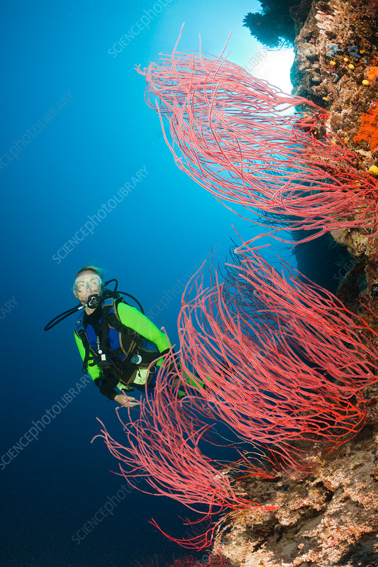 Scuba Diver and red Whip Corals