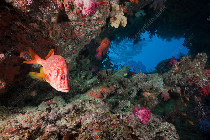 Longjawed Squirrelfish in Cave