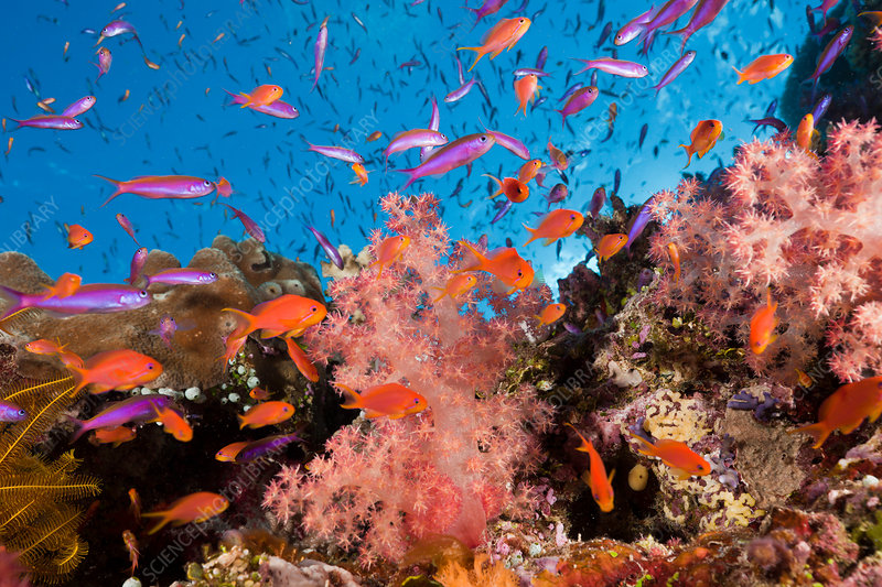 Anthias over Coral Reef