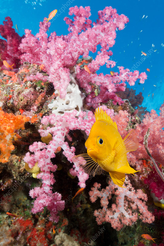 Golden Damsel in Coral Reef