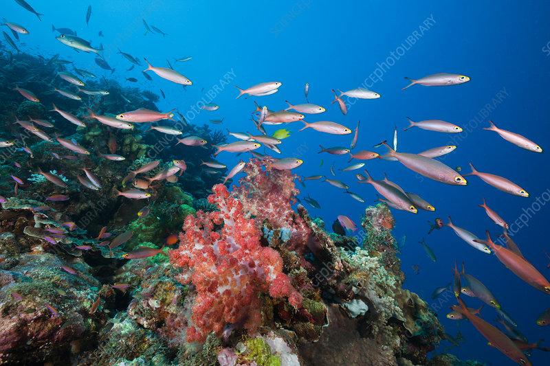 Banana Fusilier over Reef