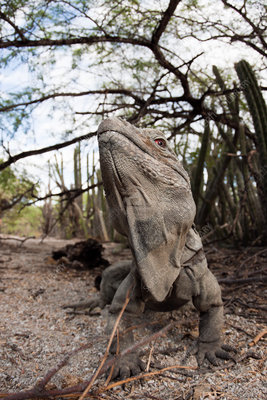 Hispaniolan Ground Iguana