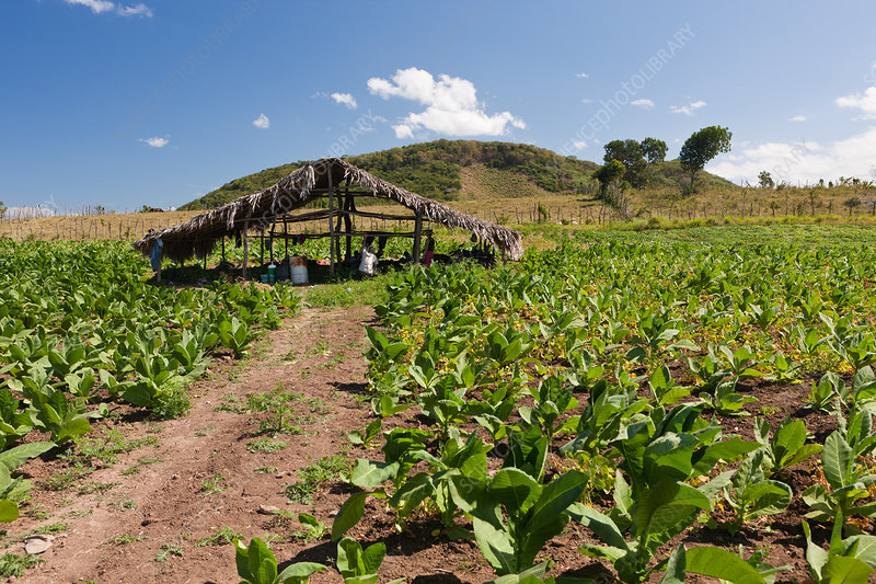 Tabacco Plantation in the Outback