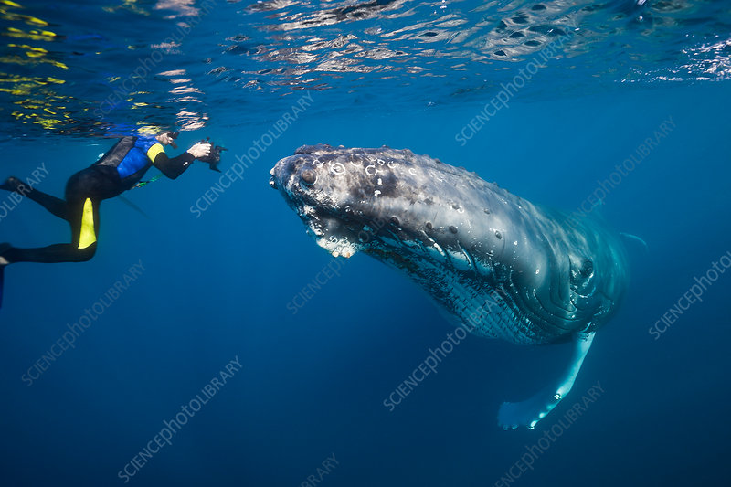 Snorkeler and Humpback Whale