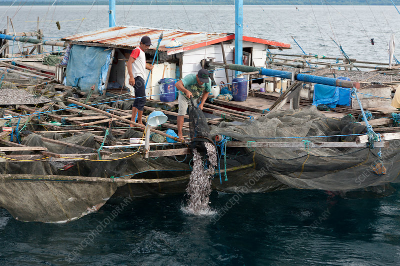 Fishermen feeding Whale Sharks