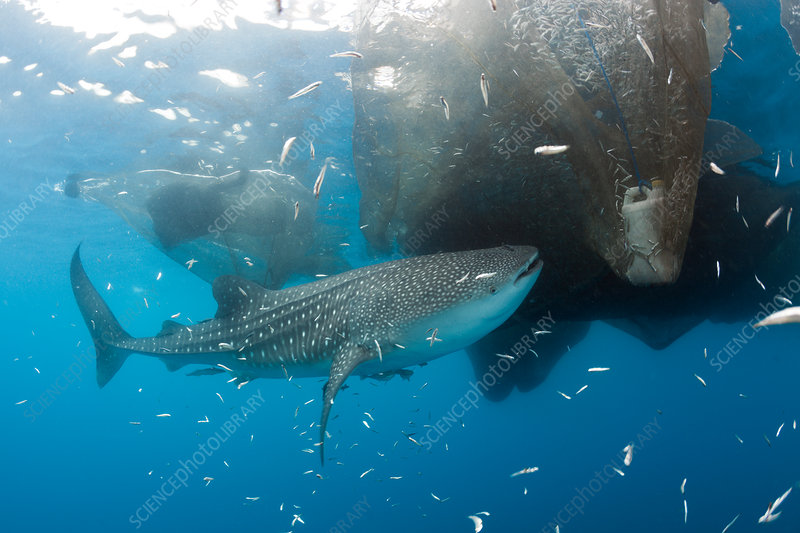 Whale Shark underneath Fishing Platform