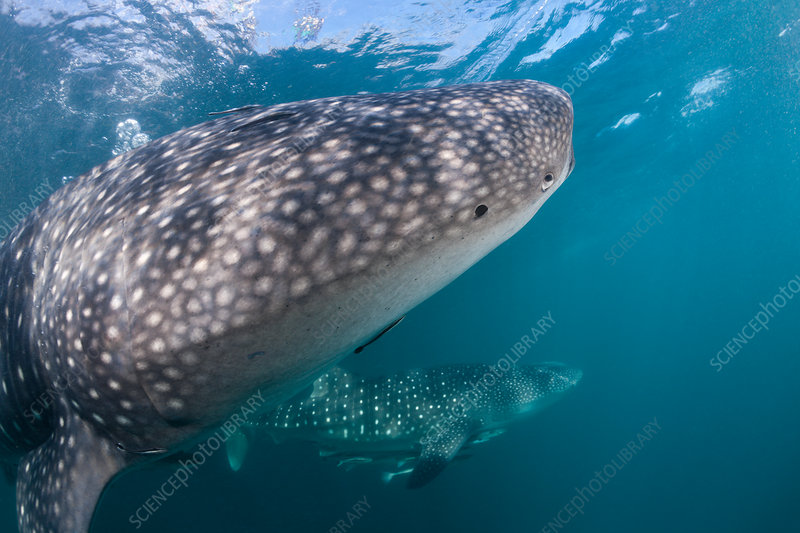Two Whale Shark