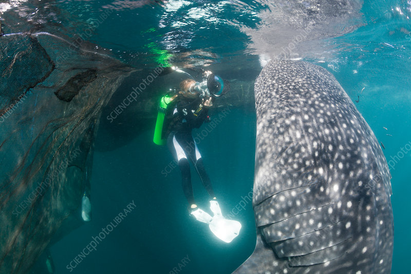 Scuba Diver photographing feeding Whale Shark