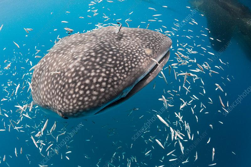 Feeding Whale Shark