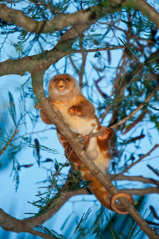 Common Spotted Cuscus in Tree