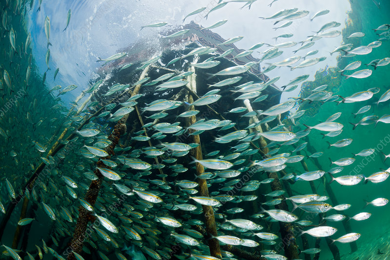 Shoal of Yellowstripe Scad in Lagoon of Ahe Island