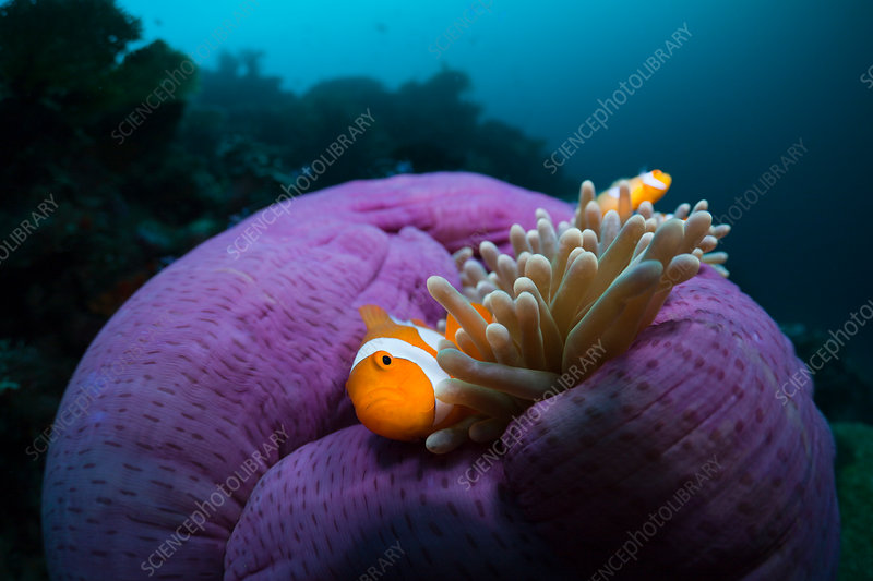 Clown Anemonefish in Magnificent Sea Anemone