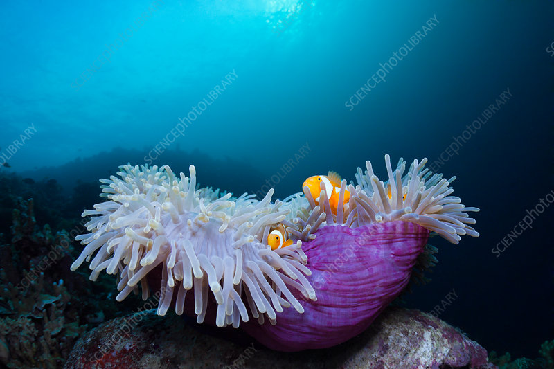 Clown Anemonefish in Magnificent Sea Anemone
