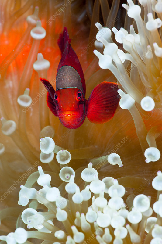 Spinecheek Clownfish in Anemone