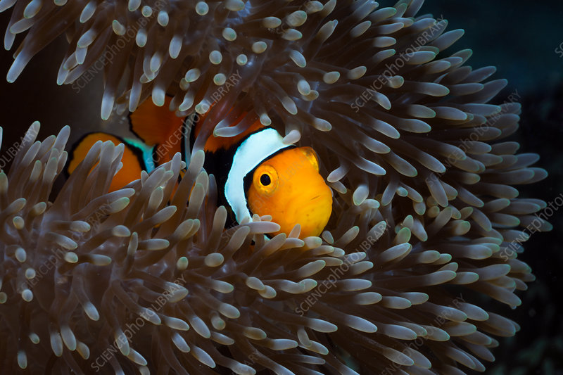 Clown Anemonefish in Sea Anemone