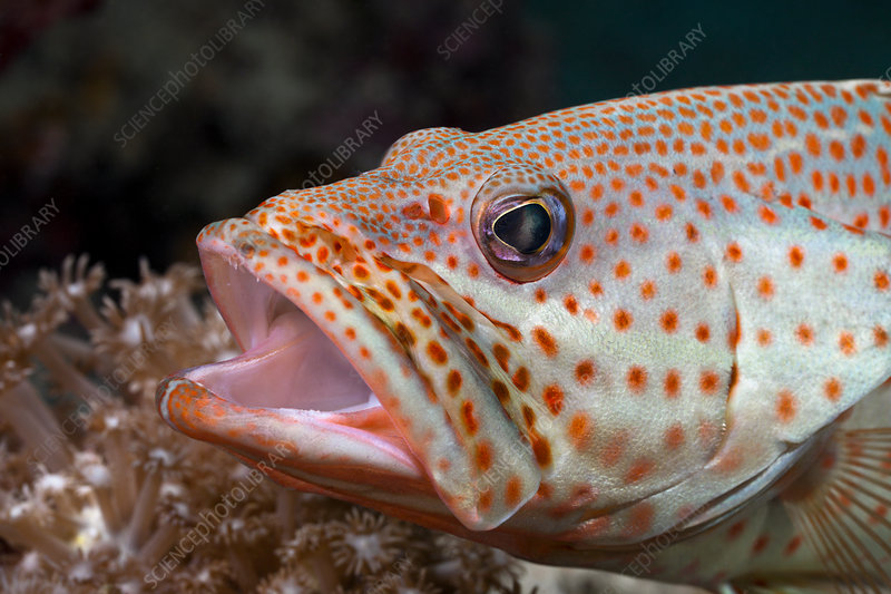 Grouper open Mouth