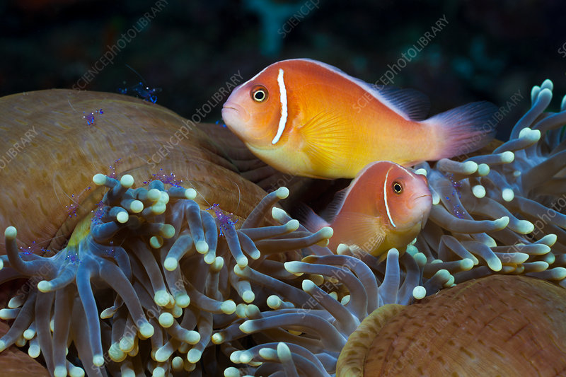 Pink Anemonefish in Magnificent Sea Anemone