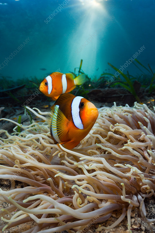 Leather Sea Anemone with Clarks Anemonefish