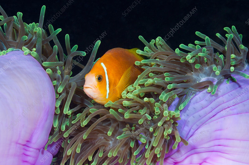 Endemic Maldives Anemonefish in Anemone