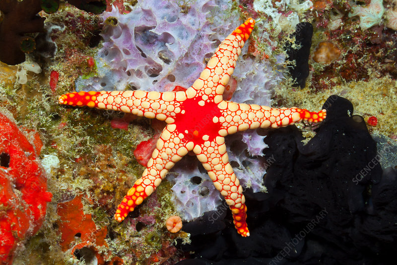 Red Mesh Starfish
