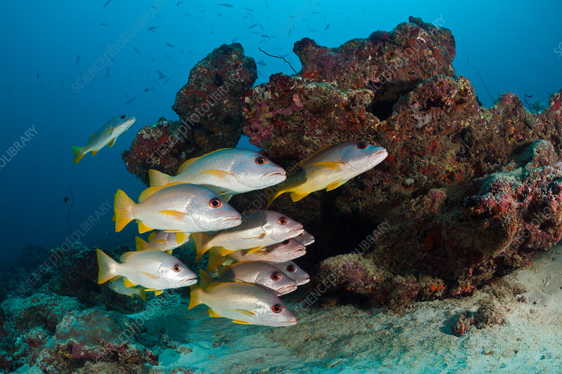 Shoal of One-spot Snapper
