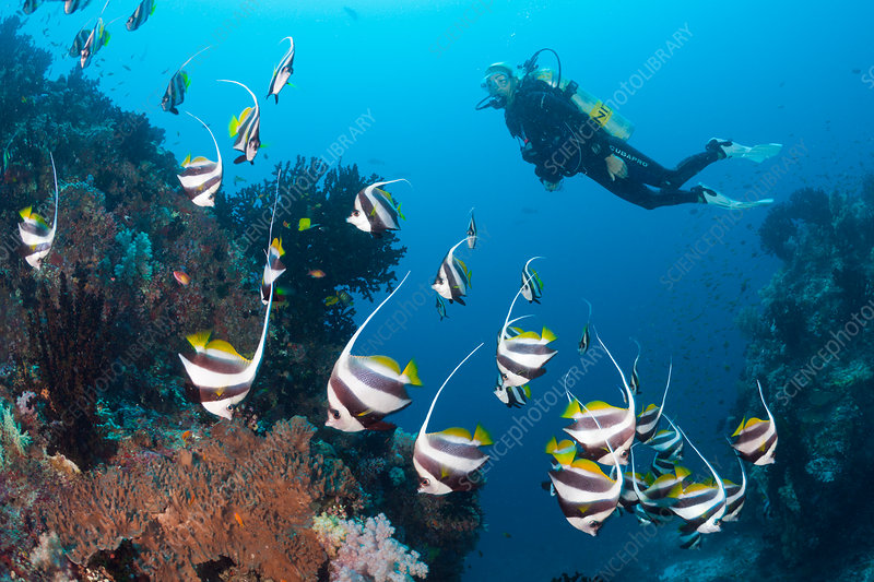 Scuba Diver and Pennant Bannerfish
