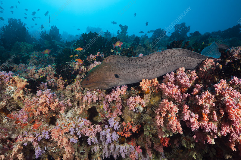 Giant Moray over Coral Reef