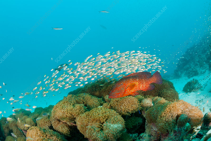 Shoal of Pygmy Sweepers and Coral Grouper